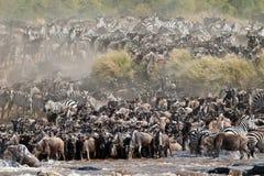 Grupo da água bebendo a mais wldebeest no rio Imagem de Stock