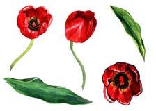 Grupo da ilustração da aquarela de uma tulipa vermelha com os objetos separados das folhas isolados no fundo branco ilustração stock