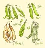 Grupo da ilustração do vetor de ervilhas verdes Fotos de Stock