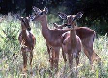 Grupo da impala Imagem de Stock