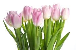 Grupo da luz - Tulips cor-de-rosa Fotografia de Stock