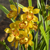 Grupo da orquídea bonita de Phalaenosis do amarelo da flor Imagens de Stock Royalty Free