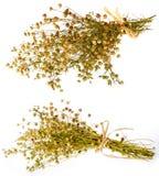 Grupo da planta seca do linho Imagens de Stock