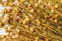 Grupo da planta seca do linho Imagens de Stock Royalty Free