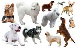 Grupo da raça do cão Imagem de Stock Royalty Free