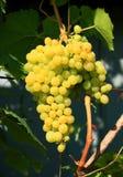 Grupo da uva no jardim Imagem de Stock Royalty Free