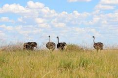 Grupo das avestruzes Fotos de Stock Royalty Free
