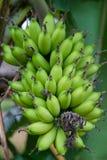 Grupo das bananas na exploração agrícola Fotografia de Stock Royalty Free