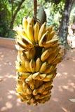 Grupo das bananas que penduram da árvore Fotografia de Stock Royalty Free