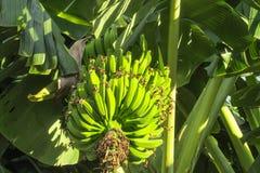 Grupo das bananas verdes que crescem nos trópicos imagens de stock royalty free