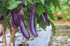 Grupo das beringelas de Urple que pendura na árvore na exploração agrícola vegetal orgânica fotografia de stock royalty free
