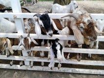 Grupo das cabras Fotos de Stock