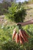 Grupo das cenouras com folhas verdes Fotos de Stock