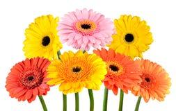 Grupo das flores coloridas do cravo-de-defunto do Gerbera isoladas no branco Fotografia de Stock