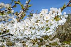 Grupo das flores de cerejeira Imagens de Stock Royalty Free