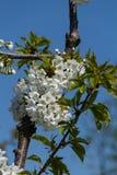 Grupo das flores de cerejeira no sol fotos de stock royalty free