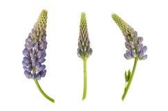 Grupo das flores violetas do tremoceiro isoladas em um branco fotos de stock royalty free