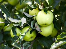 Grupo das maçãs em uma árvore Fotos de Stock Royalty Free