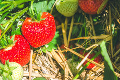Grupo das morangos crescentes frescas que começam a maduro Fotos de Stock
