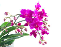 Grupo das orquídeas violetas Fotografia de Stock Royalty Free
