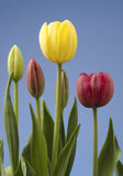 Grupo das tulipas Imagens de Stock