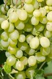 Grupo das uvas brancas Fotografia de Stock Royalty Free