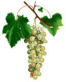Grupo das uvas brancas Ilustração do Vetor