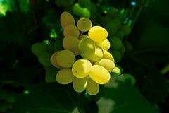 Grupo das uvas brancas Fotos de Stock