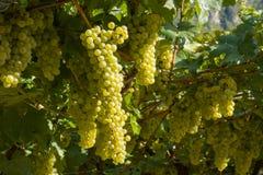 Grupo das uvas brancas prontas para a colheita fotos de stock