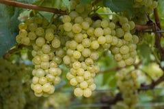 Grupo das uvas brancas prontas para a colheita imagem de stock