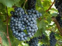 Grupo das uvas brancas prontas para a colheita fotos de stock royalty free