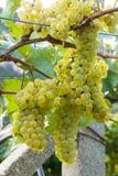 Grupo das uvas brancas prontas para a colheita foto de stock royalty free
