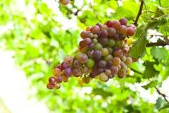 Grupo das uvas maduras prontas para ser arrancado Fotografia de Stock Royalty Free