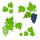 Grupo das uvas vermelhas e brancas com folhas Fotografia de Stock