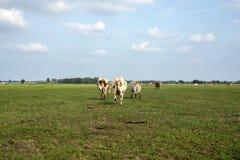 Grupo das vacas pied vermelhas que andam, visto de atrás, para o horizonte, com um céu azul macio com algumas nuvens brancas fotos de stock