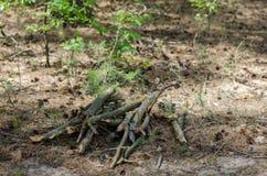Grupo das varas de madeira na floresta Imagens de Stock Royalty Free