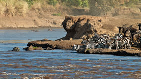 Grupo de água bebendo das zebras no rio Fotografia de Stock Royalty Free