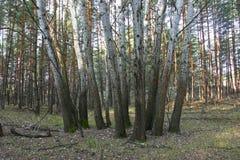 Grupo de álamo tremedor em um fundo da floresta do pinho Foto de Stock Royalty Free