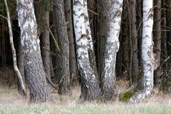 Árboles de abedul en el prado Imagenes de archivo