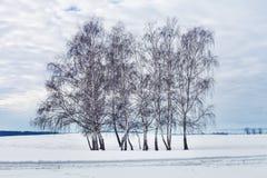 Grupo de árboles de abedul en el invierno Fotografía de archivo libre de regalías