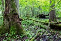 Grupo de árboles viejos en soporte del verano Imagenes de archivo