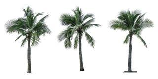 Grupo de árvore de coco isolado no fundo branco usado anunciando a arquitetura decorativa Imagem de Stock
