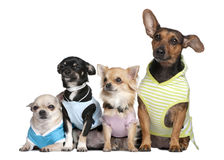 Grupo de 4 cães vestidos-acima imagens de stock