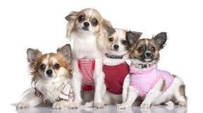 Grupo de 4 chihuahuas vestidas-para arriba Imagenes de archivo