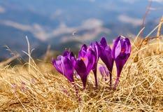 Grupo de açafrão da flor do açafrão Imagens de Stock Royalty Free