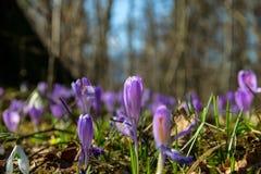 Grupo de açafrão de açafrão na primavera em uma floresta do pântano Fotos de Stock
