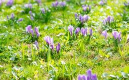 Grupo de açafrão roxo (açafrão sativus) com seletivo/brandamente o focu Fotografia de Stock