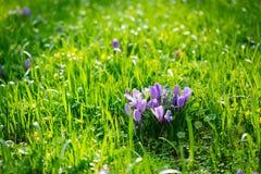 Grupo de açafrão roxo (açafrão sativus) com seletivo/brandamente o focu Imagem de Stock
