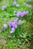 Grupo de açafrão roxo (açafrão sativus) com seletivo/brandamente o focu Imagem de Stock Royalty Free