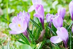 Grupo de açafrão roxo (açafrão sativus) com seletivo/brandamente o focu Fotografia de Stock Royalty Free
